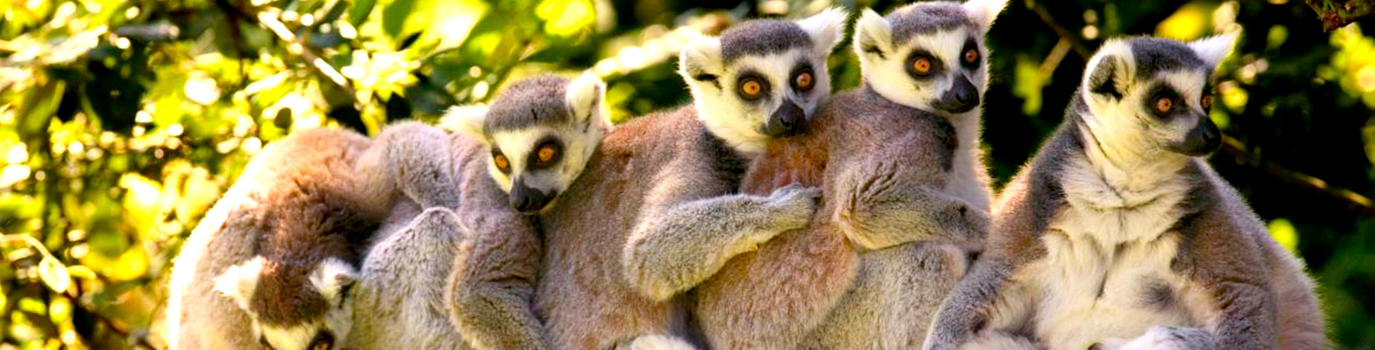 ring tail lemurs